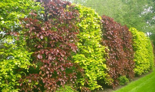 A mixed beech hedge used to create colour and screening.